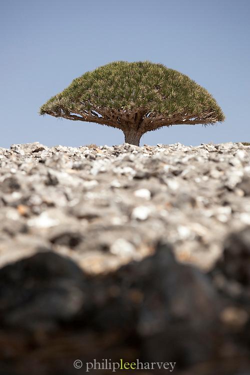 A Dragon Blood Tree, Dixsam, Socotra, Yemen