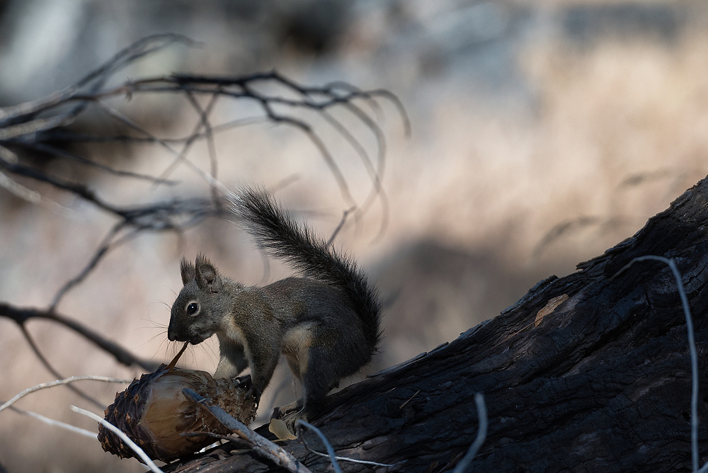 A baby Grey squirrel gathers some pine cones in Sequoia National Park