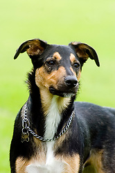 Handsome Young playful Juvenile Black and Tan mongrel dog stands focused and alert in the park  <br /> <br /> Wallace Walk 22 July  Copyright Paul David Drabble