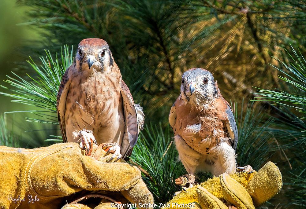 American Kestrels MkHai Male and Eshe Female APCH