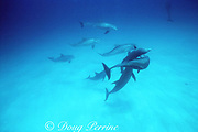 bottlenose dolphins, Tursiops truncatus, competing for dominance, Bahamas ( Western Atlantic Ocean )