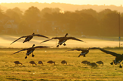 © Licensed to London News Pictures. 29/09/2018<br /> BLACKHEATH, UK.<br /> Canada geese landing on the common to feed.<br /> A cold Autumn morning as the sun comes up in South East London on Blackheath Common, Blackheath.<br /> Photo credit: Grant Falvey/LNP