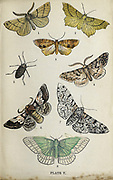 Plate V 1. Feathered Thorn. 2 Lunar Thorn. 3. Scorchel Wing. 4. Pale Brindled Beauty. 5. Pale Brindled Beauty (female). 6. Oak Beauty. 7. Peppered Moth. 8. Large Emerald from the book ' The common moths of England ' by Wood, J. G. (John George), 1827-1889 Publication date 1878 in London : by G. Routledge and Sons