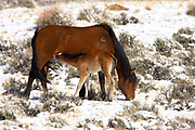 Feral Horse, Equus ferus, At McCullough Peaks Wildlife Management Area, Wyoming, United States, Mother and foal/juvenile grazing in snow, young suckling