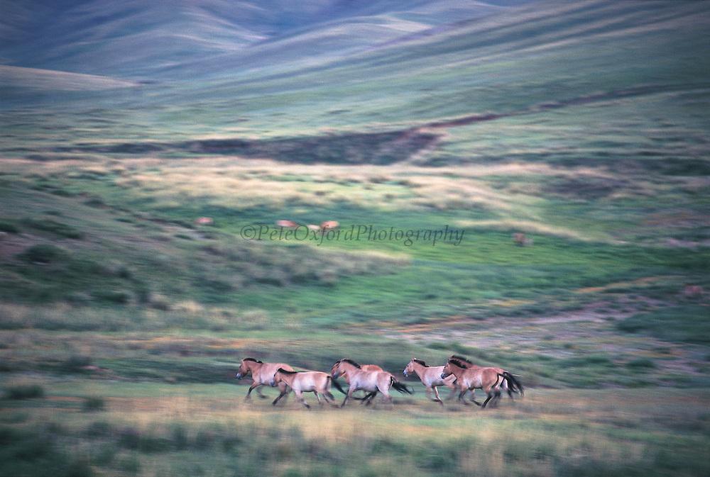 Prezewalski's horses (Equus caballus)<br /> Hustain Nuruu National Park<br /> Mongolia