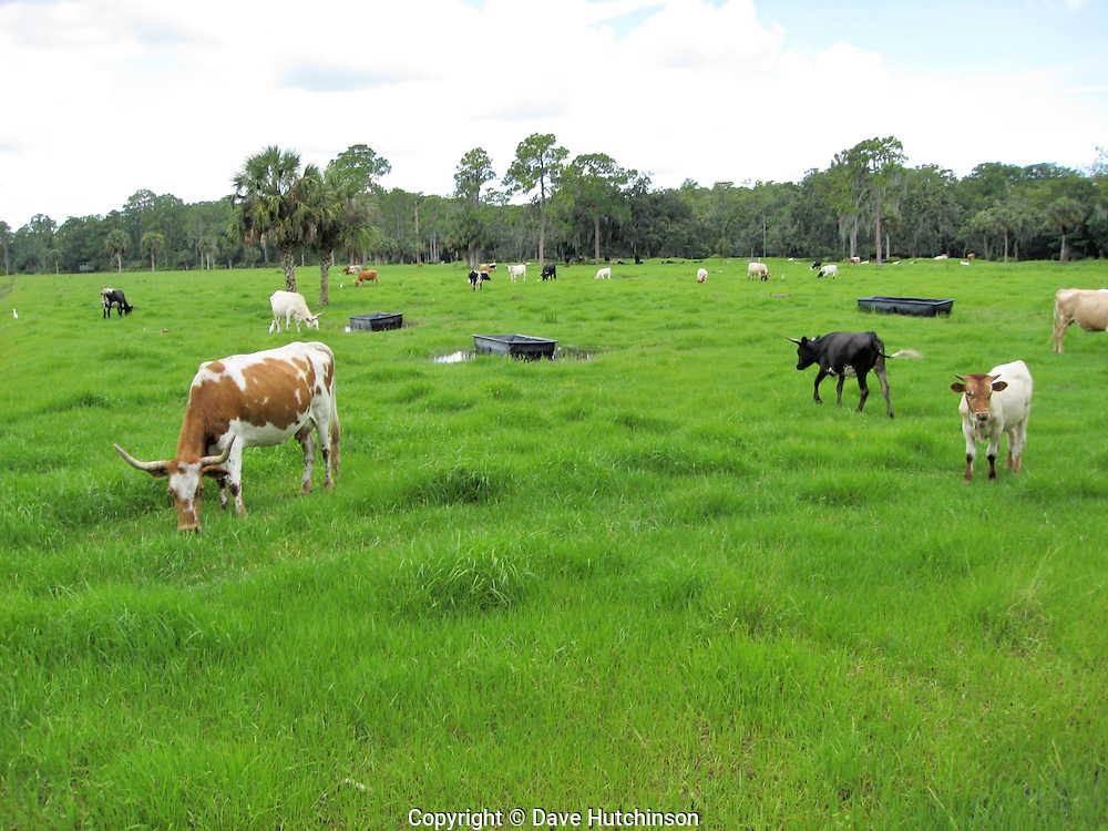USA: Florida: Charlotte County: Babcock Ranch: Cattle graze a verdant pasture on Babcock Ranch, which encompasses a working ranch, one of Florida's largest natural preserves, and a planned major development.