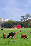A red barn and a group of dairy cows grazing in a field at Glen Valley in Langley, British Columbia, Canada.