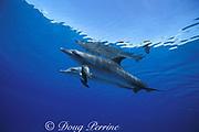 Atlantic spotted dolphins, Stenella frontalis, Little Bahama Bank, Bahamas ( Western Atlantic Ocean )