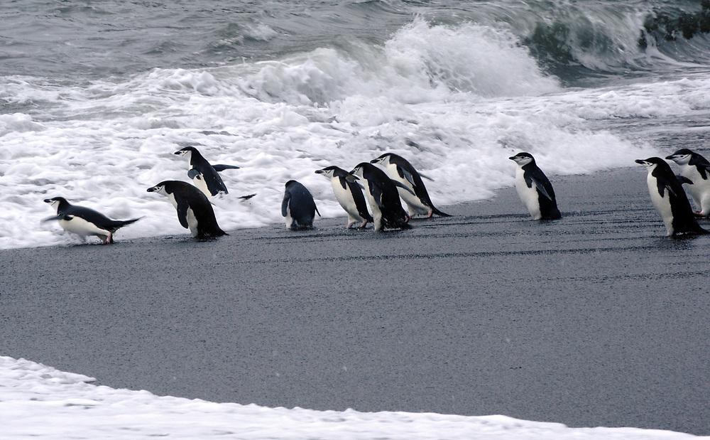 Chinstrap Penguins (Pygoscelis antarctica) enter a rough sea at their nesting colony. Saunders Island, South Sandwich Islands. South Atlantic Ocean. 25Feb1