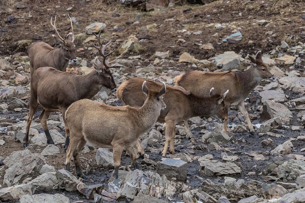 A herd of White-lipped deer also called Thorold's deer, Cervus albirostris, 白唇鹿, one male with his females  standing at the tibetan plateau in Serxu, Garze Prefecture, Sichuan Province, China
