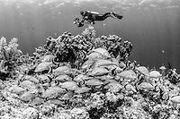 Pro underwater photographer, Alx Mustard poses over a school of French grunts (Haemulon flavolineatum).