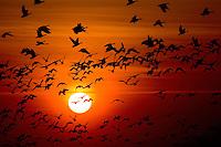 24.04.2009<br /> Sunset, Barnacle Goose (Branta leucopsis) apácalúd<br /> Westerhever, Germany