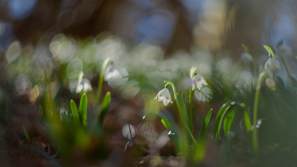 the spring snowflake_Leucojum in forest sceny, with wind-movement