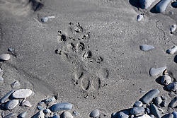 Wolf track in the sand along the Taku River, Northern B.C.