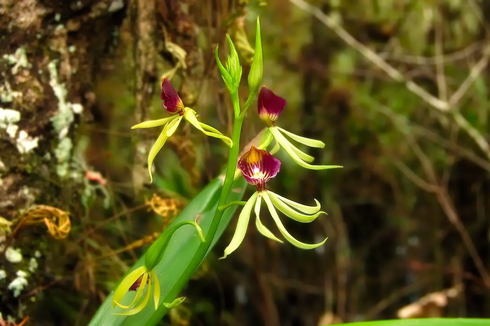 The clamshell orchid is one of the most beautiful of all of Florida's native orchids, and can flower for a very long time. This is one of those orchids that if you see one in flower, you are likely to see a lot more in the surrounding trees, as they tend to grow in huge colonies.