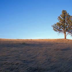 Wind Cave National Park, SD.Ponderosa Pine, Pinus ponderosa, and mixed grass prairie.