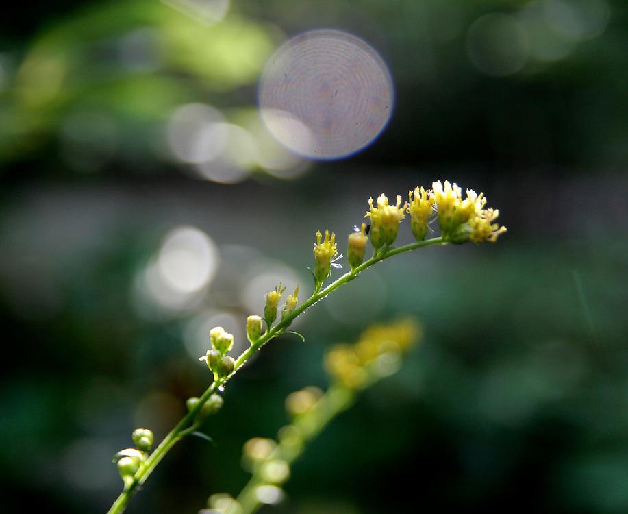 wildflowers, flower, yellow, wilderness, plants, nature, hiking
