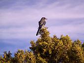 Jay, Mexican / Aphelocoma wollweberi