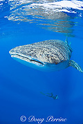 Deron Verbeck free-diving to photograph whale shark, Rhincodon typus, Kona Coast, Hawaii Island ( the Big Island ), Hawaiian Islands ( Central Pacific Ocean )