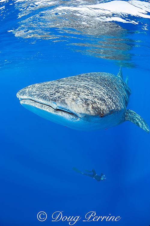 Deron Verbeck free-diving to photograph whale shark, Rhincodon typus, Kona Coast, Hawaii Island ( the Big Island ), Hawaiian Islands ( Central Pacific Ocean )