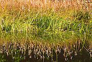 Grasses on the shore of  Reflection Lake, Mount Rainier National Park, Washington