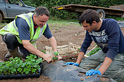 Senior farmer showing younger worker technique, Male workers planting strawberries outdoors, Riverford Organics farm, Totnes, Devon, UK food industry