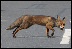 June 4, 2017 - London, London, United Kingdom - Image ©Licensed to i-Images Picture Agency. 04/06/2017. London, United Kingdom. A  fox out and about scavenging in central London.  Picture by Stephen Lock / i-Images (Credit Image: © Stephen Lock/i-Images via ZUMA Press)