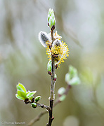 The willows were beginning to flower at Magnuson Park.  The delicate white fuzz with yellow stamines were so beautiful.  New leaves were beginning to open too.