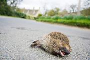 Dead hedgehog on country road, Swinbrook, Oxfordshire, United Kingdom