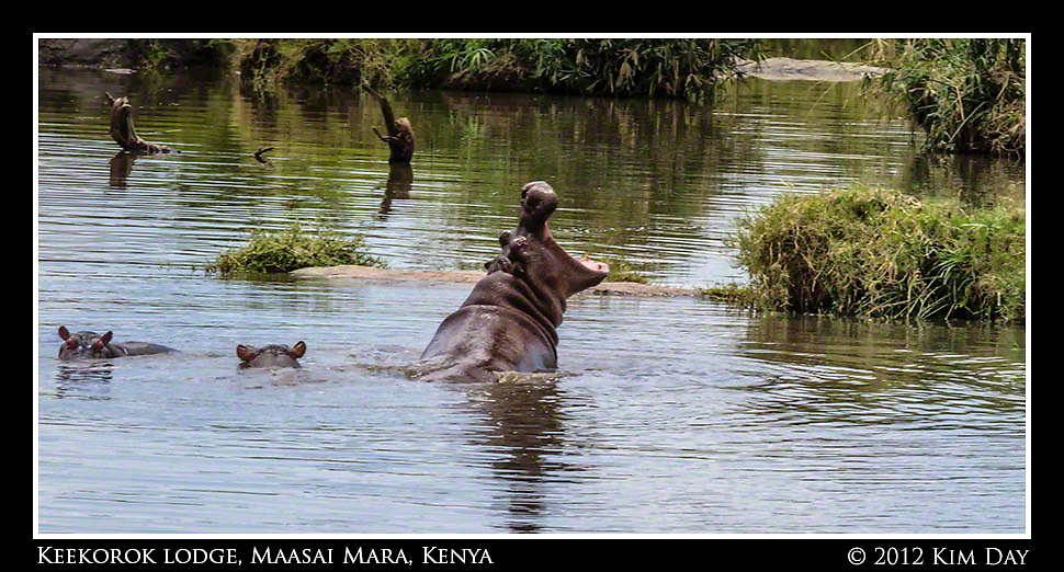 Yawning Hippo.Keekorok Lodge, Maasai Mara, Kenya.September 2012