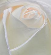 white rose macro