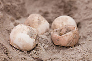 Unhatched loggerhead turtle eggs from a nest along the dunes of Isle of Palms,  SC.