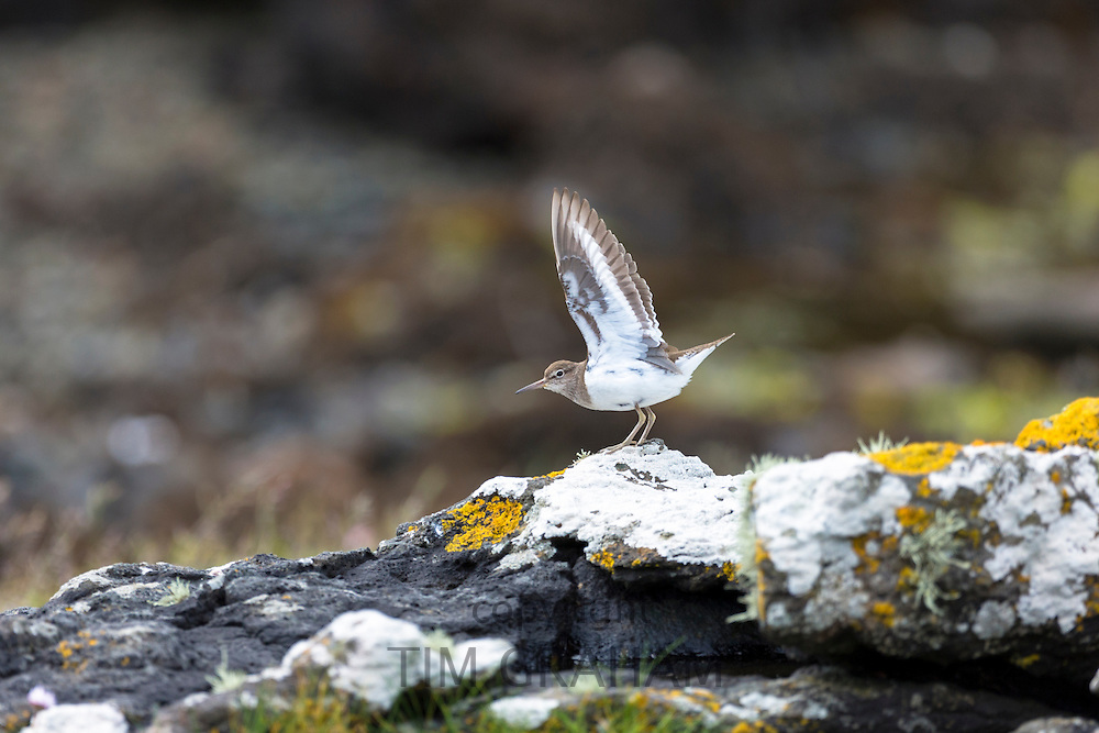 Common Sandpiper - a brown and white wading bird, Actitis hypoleucus, stretching and flapping wings on Isle of Mull in the Inner Hebrides and Western Isles, West Coast of Scotland