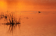 Ruddy Duck feeding at sunset in Bombay Hook NWR creating concentric rings as he dives for food
