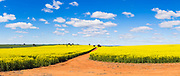 Canola field and dirt track under blue sky and cumulus clouds near Sebastopol, New South Wales, Australia <br />