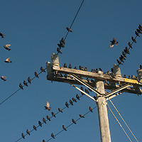 European Starlins rest on electric wires in California.