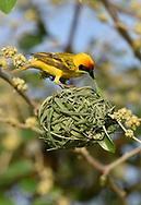 Vitelline Masked Weaver - Ploceus vitellinus