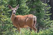 Wildlife Photography, Deer, Steamboat Springs Colorado