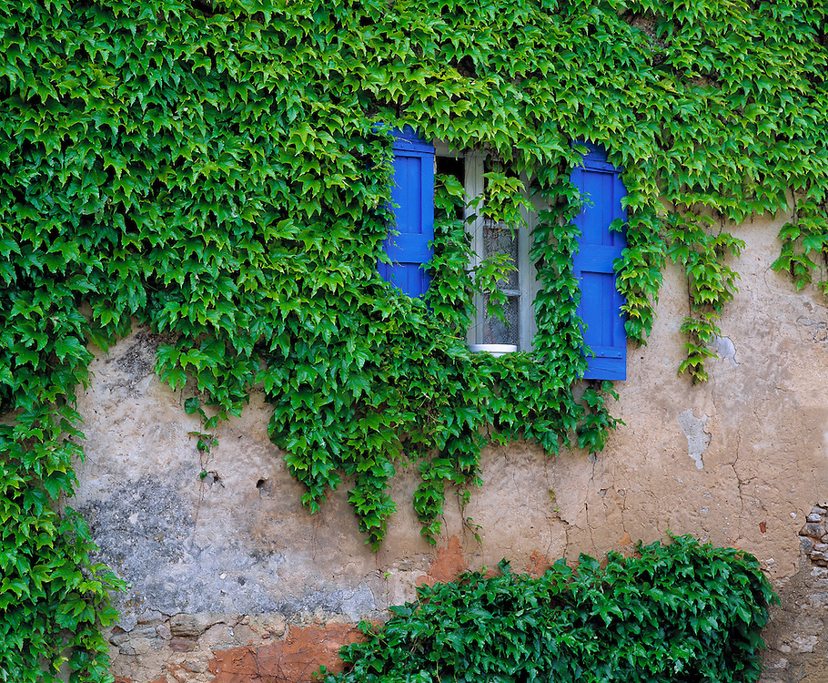 Cascading ivy envelopes a window with bright blue shutters in Lourmarin, Provence, France.