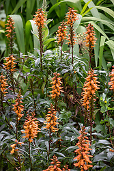 Isoplexis canariensis syn. Digitalis canariensis - check i.d
