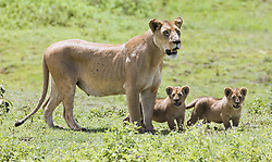 July 21, 2019 - Lioness With Cubs (Credit Image: © Carson Ganci/Design Pics via ZUMA Wire)