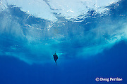 blue marlin, Makaira nigricans, chasing a teaser lure, Vava'u, Kingdom of Tonga, South Pacific