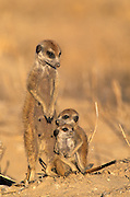 Young Meekate enjoys a cuddle with dad!<br /> 'Winter nights in the Kalahari region of South Africa can be surprisingly cold - often below freezing. Kalahari meerkats spend the night tucked snugly away in their burrows. When the early morning sun first appears the entire meerkat family emerge for the first activity of the day - a sunbathing session to get warm. This photo shows a mother with two very young meerkats. Like all youngsters they easily become bored and chose to have a quick cuddle to help them warm up.'<br /> Nigel Dennis/Exclusivepix