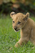 A two month old african lion cub (Panthera leo) at the Chipangali Wildlife Orphanage in Bulawayo, Zimbabwe.