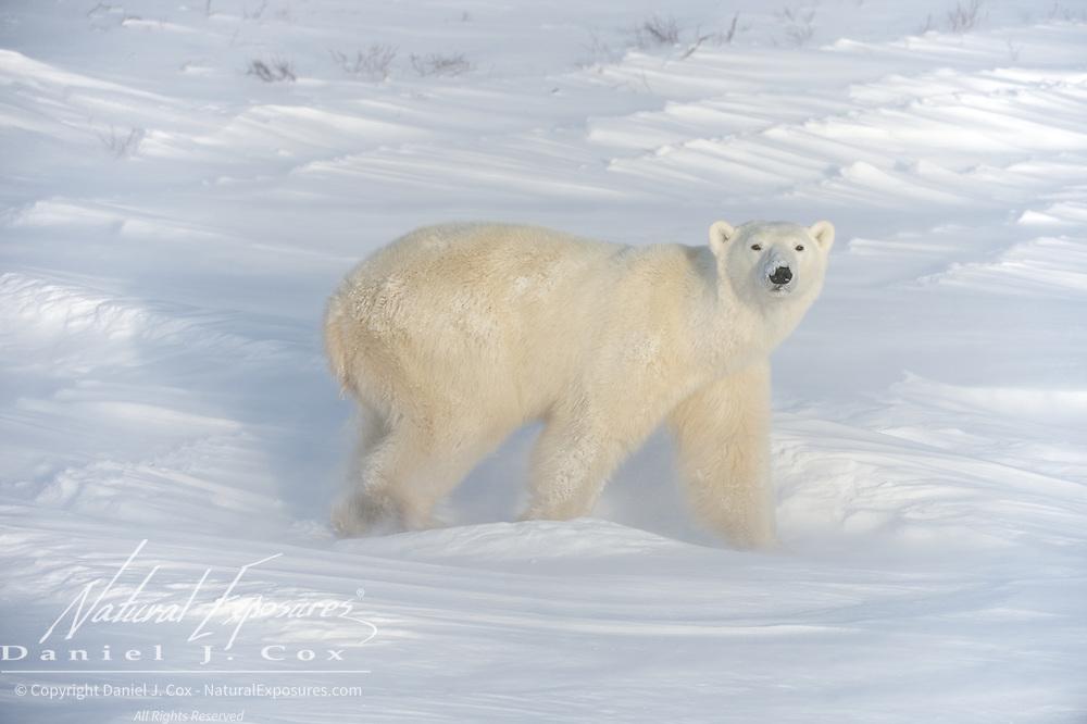 A young polar bear, Cape Churchill, Manitoba.