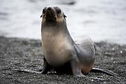 Antarctic fur seal (Arctocephalus gazella), adult, on land