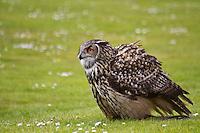Landing European eagle owl