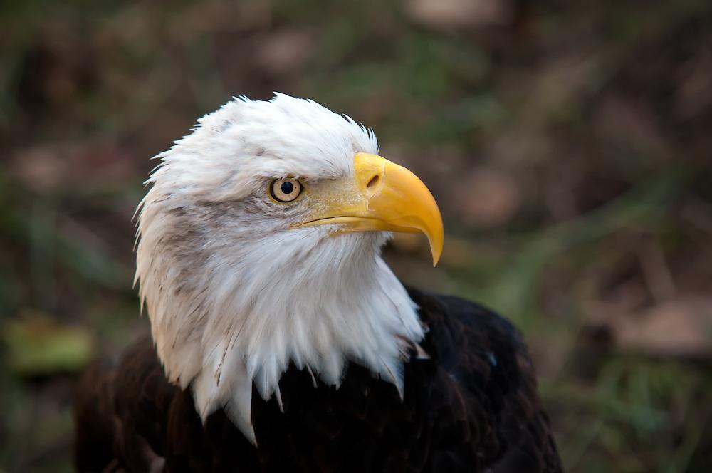 Close-up of a bald eagle.