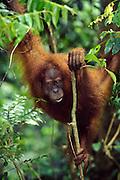 Sumatran orangutan (Endangered Species)