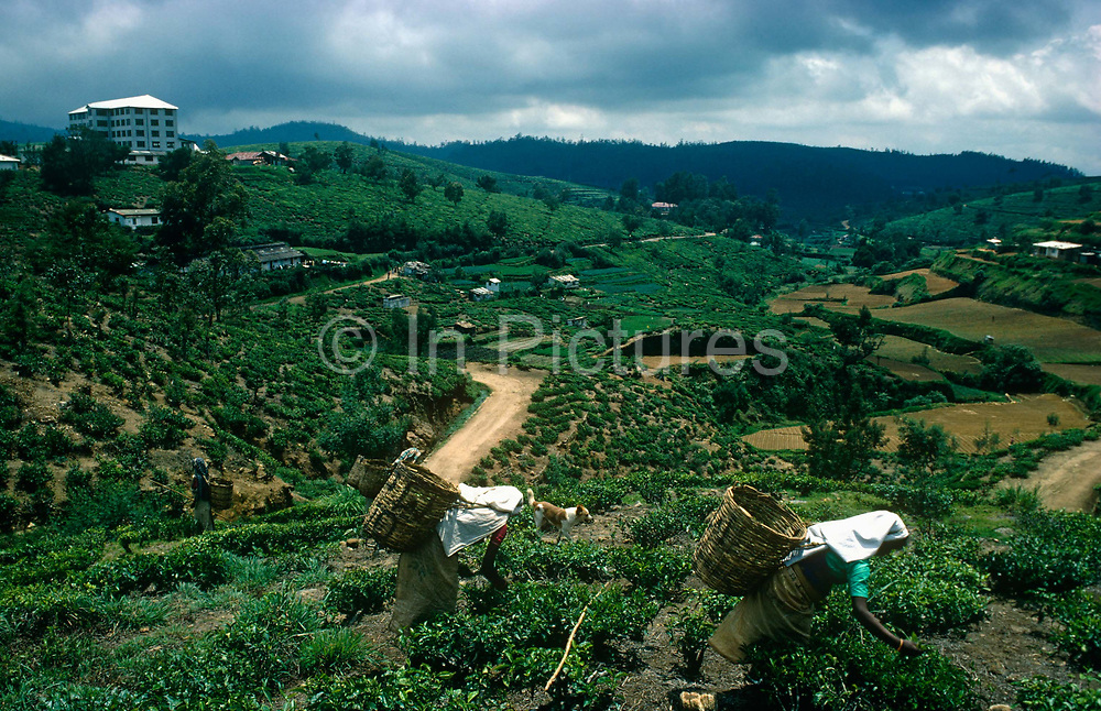 1,890 meters (6,200 feet) above sea level and surrounded by lush tea plantations in Sri Lanka's Hill Country district of Nuwara Eliya, women tea pickers bend over trees to harvest Ceylon tea leaves that are taken to the white building on the left for processing. A carpet of velvety green tea bushes stretch into the far distance. This is the heart of the island's tea industry but was a pleasure retreat of the European planters due to its temperate English climate that produces the finest leaves for the country's economy. Teas from this highest region are described as the champagne of Ceylon teas. The leaf is gathered all year round but the finest teas are made from that plucked in January and February. The best teas of the area give a rich, golden, excellent quality liquor that is smooth, bright, and delicately perfumed.